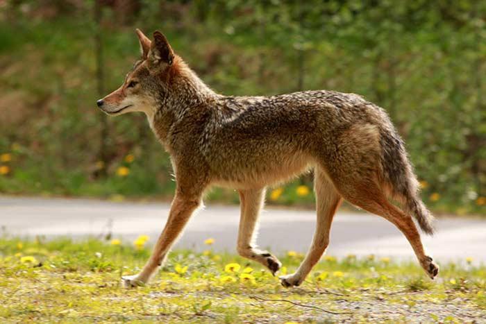 Койот(лат. Canis latrans)