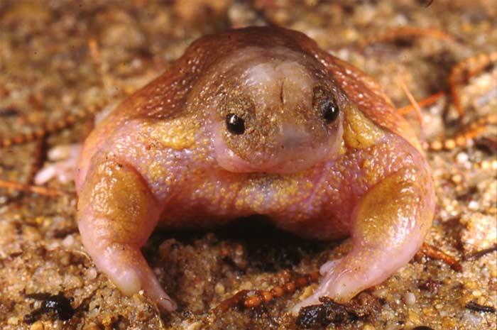 Лягушка-черепаха (Myobatrachus gouldii)