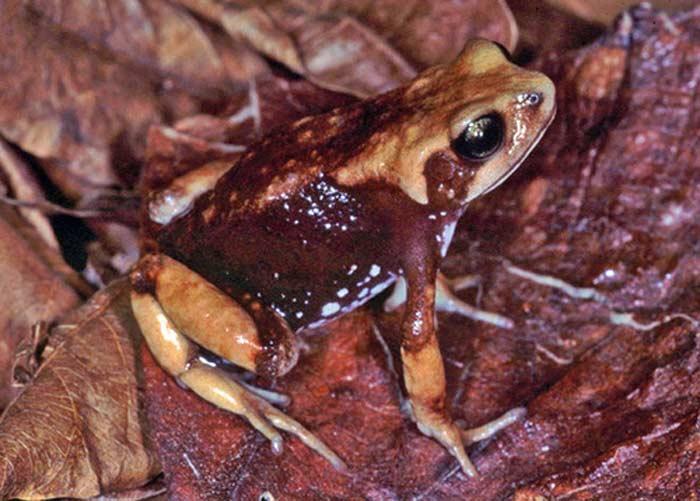 Яйцеживородящая жаба (Nectophrynoides viviparus)
