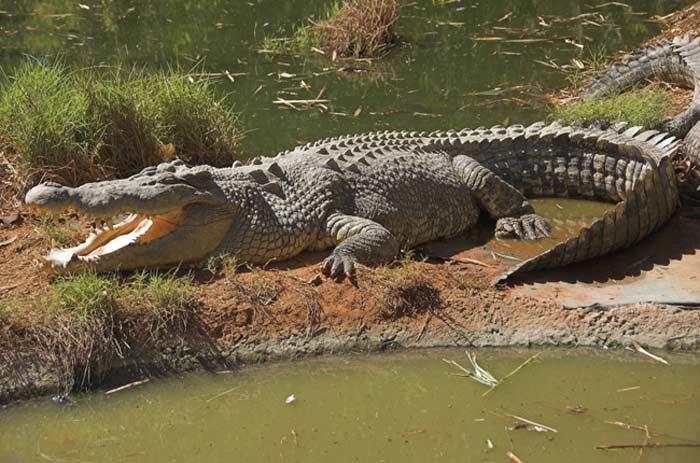 Топ 10 Самых больших крокодилов