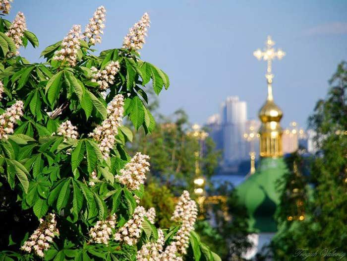 Киевский каштан