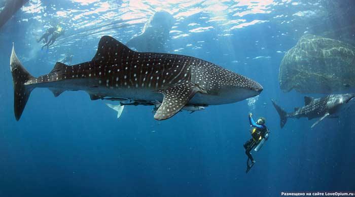 Самая большая акула. Китовая акула.