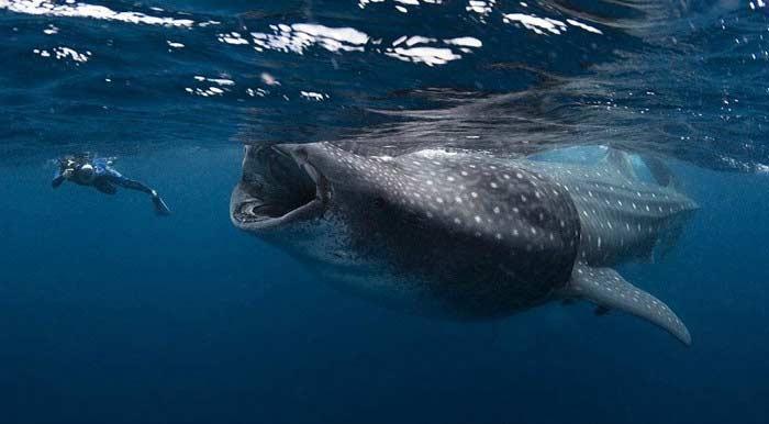 Самая большая акула. Может вырастать до 20 метров