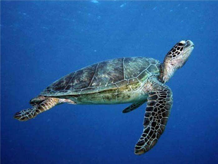 Самые большие черепахи. Зеленая черепаха