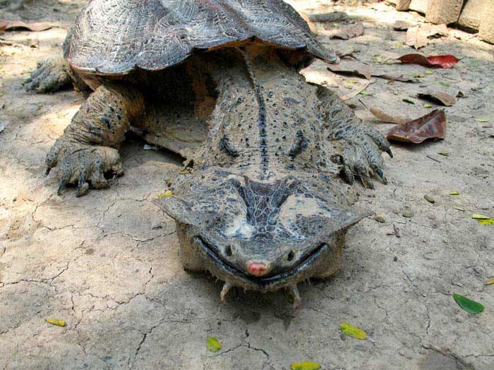 Самые большие черепахи. Бахромчатая черепаха