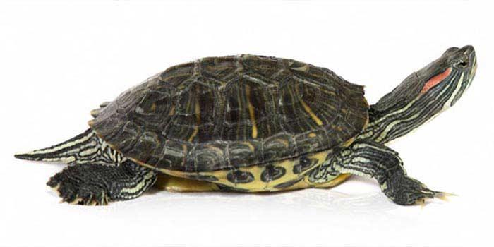 Самые большие черепахи. Красноухая черепаха