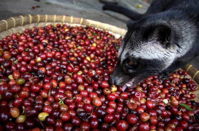 Luwak Coffee (Индонезия)
