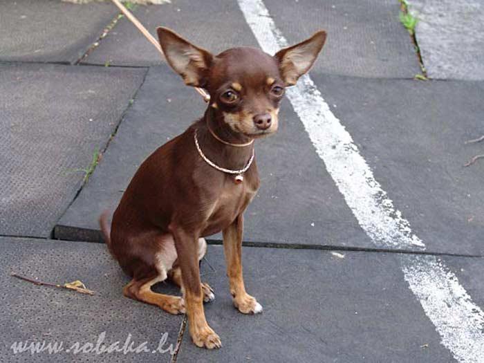 Самые маленькие собаки. Русский той терьер