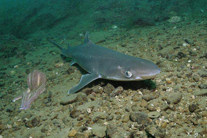 Колючая акула катран