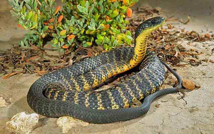 Тигровая змея