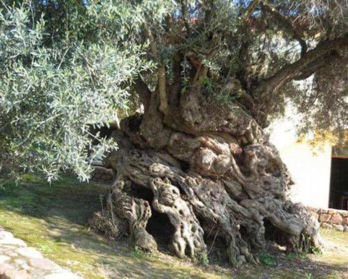 Дерево Кормака