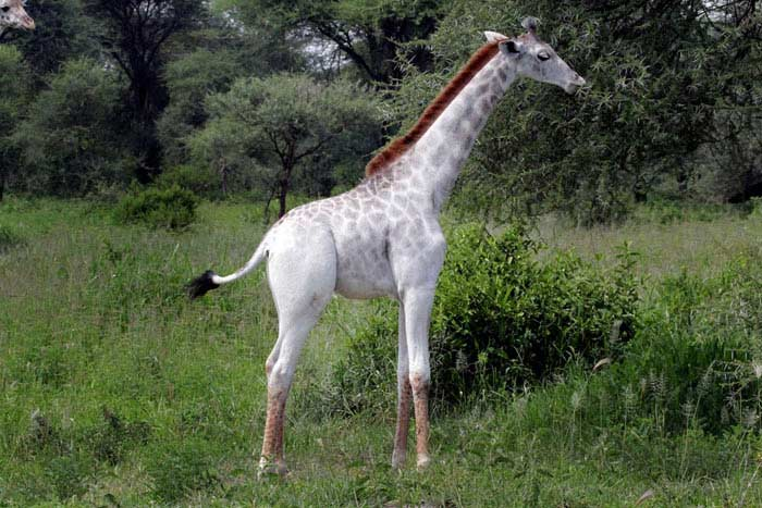 Белый жираф: уникальная мутация