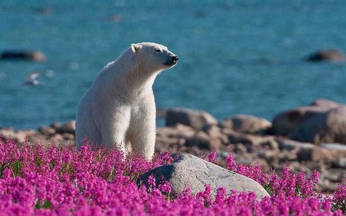 они спасаются от полярных медведей