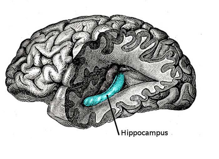 Подлый гиппокамп