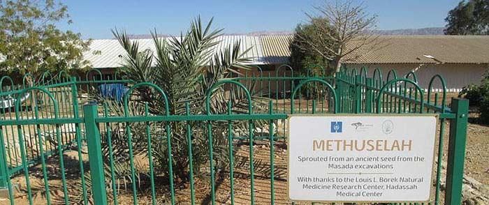 2000-летняя пальма