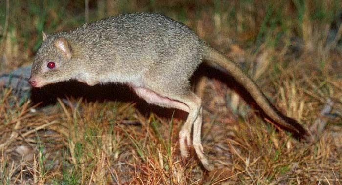 Степная кенгуровая крыса