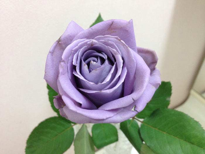 Голубая роза Сантори Аплоз