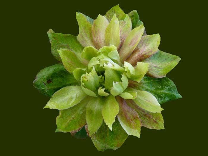 Китайская роза Виридифлора