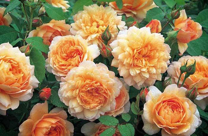 Роза Грейс
