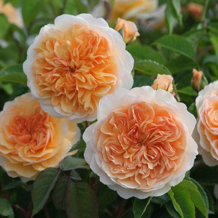 Роза Свит Джулиет