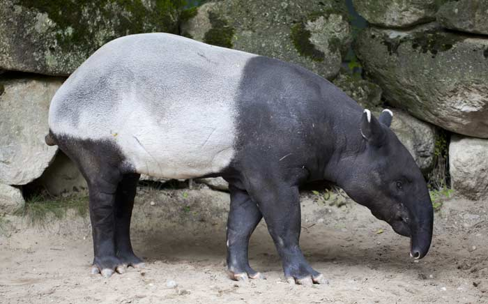 Тапир