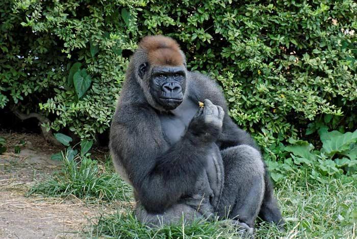 Топ 10 Человекообразных обезьян