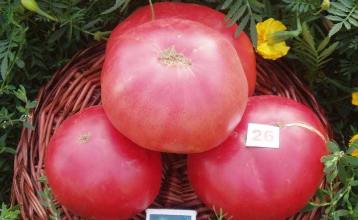 Сорт «Розовый гигант»