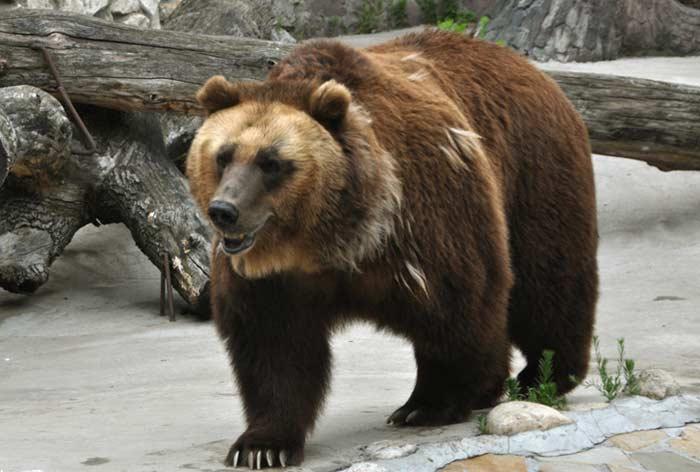 Бурый медведь (сибирский)