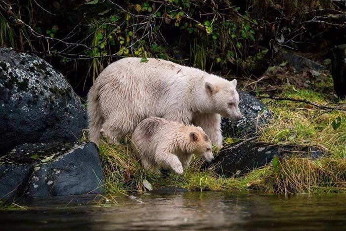 Медведь-призрак