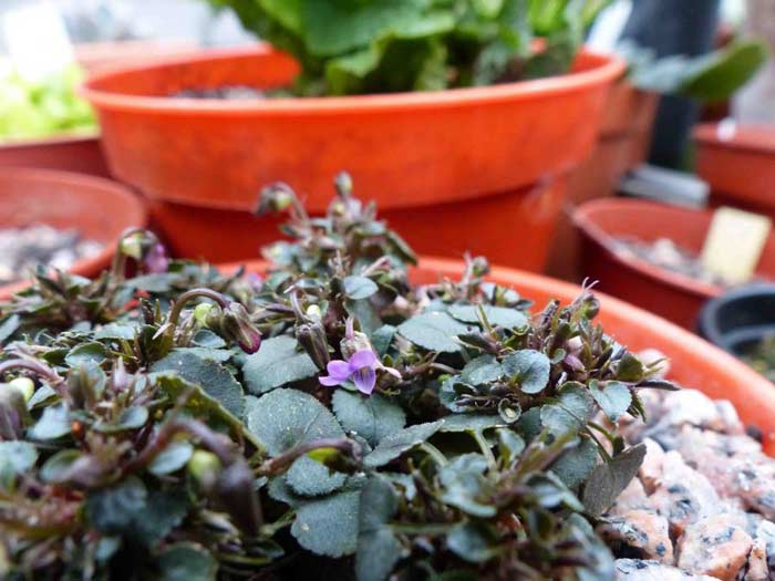 Viola lilliputana