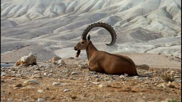 Пиренейский горный козел