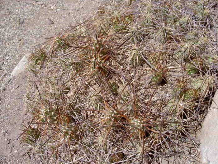Maihueniopsis camachoi