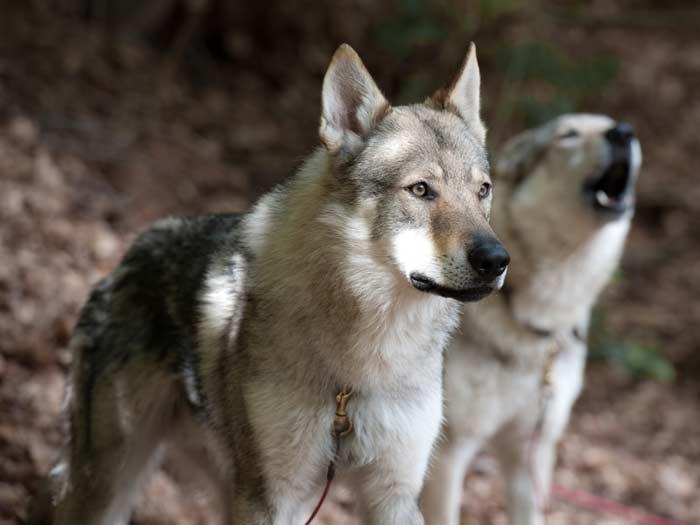 волчья собака
