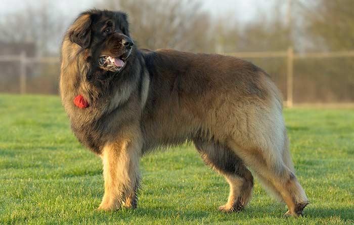 Топ 10 Самые большие породы собак