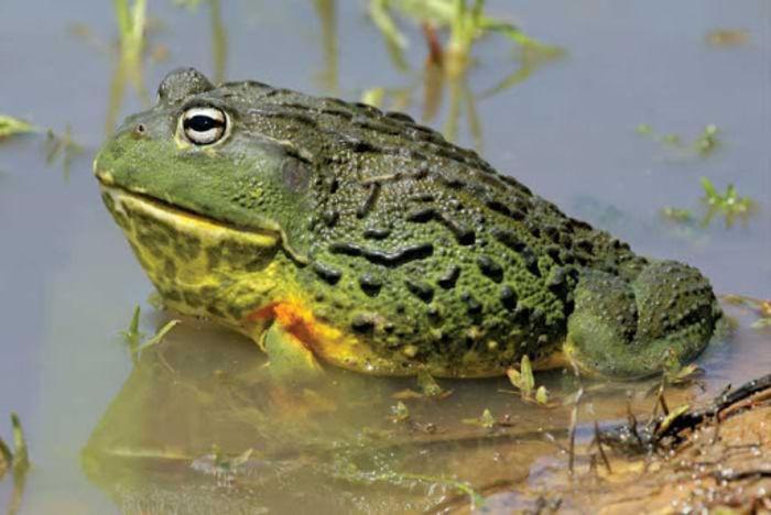 Роющая лягушка